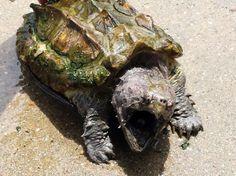PEDRO HITOMI OSERA: Rara tartaruga-aligátor é devolvida em campanha no...
