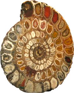 Ammonites lived in the sea. They had about 2000 species. 65 million years ago they disapeared