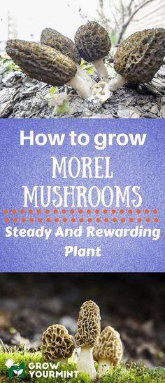 Indoor Vegetable Gardening I'll you how to grow morel mushrooms since the procedure is not complicated or confusing. Growing Morel Mushrooms, Garden Mushrooms, Edible Mushrooms, Stuffed Mushrooms, Wild Mushrooms, How To Grow Mushrooms, Indoor Vegetable Gardening, Organic Gardening Tips, Container Gardening