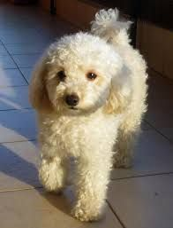 Image result for toy poodle