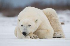 Eye to Eye with a Polar Bear, Manitoba, Canada