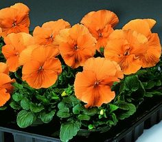 for fall planting color - pansy delta orange