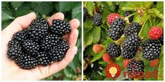Reap the delicious and nutritious benefits of growing a raspberry plant in your own yard. Our raspberry plants include red, yellow, purple and black varieties. Growing Raspberries, Black Raspberries, Mulberry Fruit, Raspberry Plants, Raised Bed Garden Design, Raspberry Recipes, Growing Vegetables, Fruit Trees, Planting Flowers