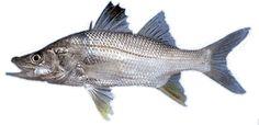 Robalo Pesca submarina en apnea - La guía mas completa para principiante