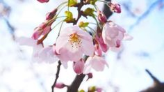 HANAMI: a exuberante beleza da floração das cerejeiras no Japão. FOTOS