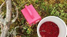 Puolukan ja muiden marjojen poimintaa Oulunsalon Varjakassa Finland, Autumn, Red, Fall Season, Fall