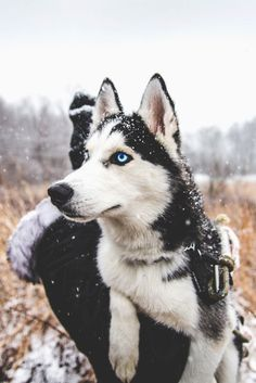 Beautiful Husky getting carried around in the snow!