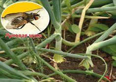 Хочу поделиться своим опытом отпугивания луковой мухи от моих луковых посадок. Мне почему-то соседство лука и моркови от луковой мухи совсем не помогает. Лук продолжает портить луковая муха, а морков…