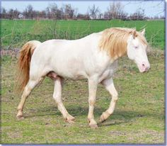 Tennessee Walking Horse Stallion At Stud - THE BUCK STARTS HERE