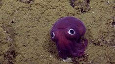 A Gorgeous Purple Stubby Squid With Big Googly Eyes That Appear to Be Painted Onto His Face
