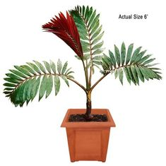 Medium Flame Thrower Palm Tree - Chambeyronia macrocarpa (Web) - rare island tropical foliage - foliage - rare palms #realpalmtrees