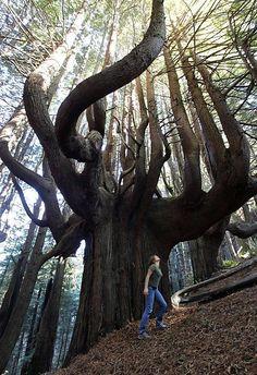LES PLUS BEAUX ARBRES DU MONDE  -  Bosquet de Séquoias candélabre © Photo copyright Shady Dell