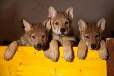 Czechoslovakian Wolfdog 19 Czechoslovakian Wolfdog, Fox, Animals, Wolf Dogs, Animales, Animaux, Animal, Animais, Foxes