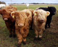 Awwww.... These are those Scottish Highland cows I'm always telling you about! So cute!