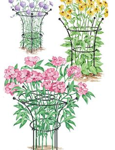 use old tomato cages, for peonies.