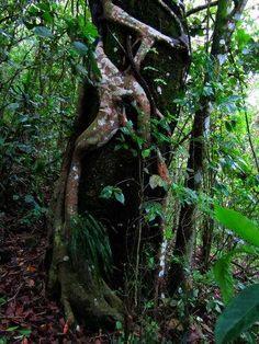 Plantas del Amazonas: Liana estrengular