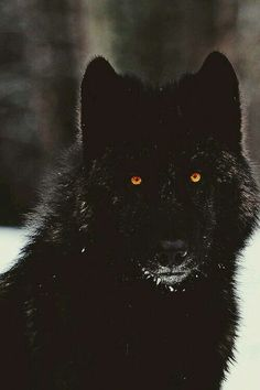 I have always felt that a wolf is my spirit animal. Not in a heroic sense, but that they are vicious predators. I hope to find my own wolf pack with a mindset that matches mine. Beautiful Creatures, Animals Beautiful, Tier Wolf, Animals And Pets, Cute Animals, Black Animals, Wolf Love, Beautiful Wolves, Beautiful Beautiful