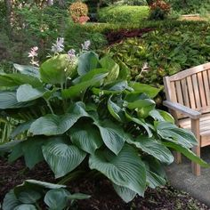 Empress Wu Hosta Plants (Set of 2) - For Green Thumbs Only on Joss & Main