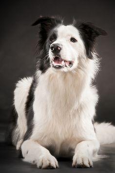 Lenny the Border #Collie / Scottish Shepherd #Dogs #Puppy