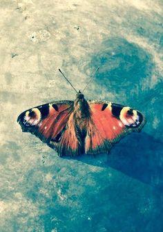 Schon früh im Jahr, wenn Weiden, Huflattich und Schlehen blühen, kann man Tagpfauenaugen beim Blütenbesuch beobachten. Bei dieser Art überwintern nicht Ei, Raupe oder Puppe, sondern die erwachsenen Falter. Das Tagpfauenauge ist einer der bekanntesten heimischen Schmetterlinge und zusammen mit dem Kleinen Fuchs auch einer der häufigsten. Moth, Wonderland, Freedom, Butterfly, Animals, Insects, Butterflies, Beautiful Things, Bonito