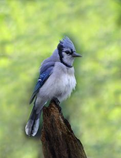 Blue Jay - Cranberry Marsh Southern Ontario