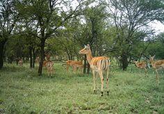 Impala with young Impala, Giraffe, Animals, Animales, Animaux, Giraffes, Animais, Impalas, Nutrition