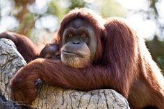 Mama and Baby Orangutan at Zoo Atlanta, Georgia