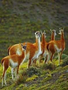 The guanaco (Lama guanicoe), Torres del Paine National Park, Chile (by Vadim Balakin)