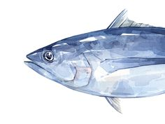 """Albacore Tuna watercolor 13x6"""" Archival Print Signed, dated, and labeled High quality, pigment based print Packing in clear protective sleeve (acid free)"""