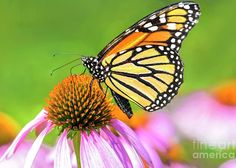 Monarch Butterfly on Coneflower by Regina Geoghan. A horizontal view of a Monarch butterfly nectaring on a purple coneflower with out of focus flowers and green shrubs in the background. Butterfly Wall, Monarch Butterfly, Any Images, Custom Greeting Cards, Rock Art, Fine Art Photography, Fine Art America, Photo Art, Wall Art