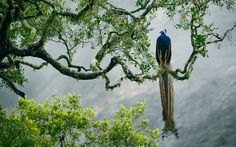 poultry-feathers-paint-tree-branch-indian-peacock-yala-national-park-sri-lanka. - Apricot Almquist