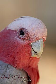 Galah Cockatoo - Australia