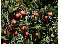 Prunus americana (American plum) Edible PA berries and plants Red Plum, Seed Bank, Plant Images, Kinds Of Birds, Prunus, Small Trees, Native Plants, Garden Planning, Horticulture