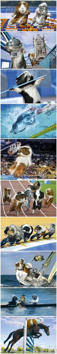 guinea pig olympics =D  love guinea pigs, love this =))) <3