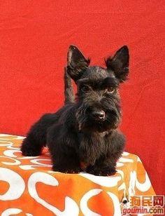 Sweet Scottie dog
