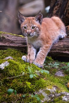 A picture from a li'l lynx, I've seen at Tierpark Hellabrunn in summer last year. Nature Animals, Animals And Pets, Baby Animals, Cute Animals, Big Cats, Cats And Kittens, Cute Cats, Siamese Cats, Beautiful Cats