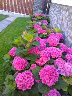 Kerti hortenzia gondozása olvasói tanácsokkal | Balkonada Real Flowers, Pink Flowers, Beautiful Flowers, Backyard Garden Design, Small Garden Design, Side Yard Landscaping, Tree Lined Driveway, Hydrangea Macrophylla, Garden Boxes