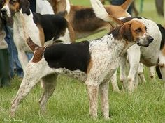 """English Foxhound ~ A versatile dog, he can be trained to hunt almost any ground game. In appearance, the English Foxhound is any good """"hound color,"""" which includes black, tan, and white, or any combination of these three. Although similar in appearance to his American Foxhound cousin, the English version is shorter and much stouter in appearance."""