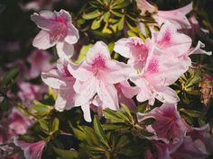 These bold flowering shrubs add a burst of color to your landscape in the summer and fall. Encore Azalea    Azaleas are a welcome sight after a long winter in Southern gardens. Encore azaleas take the show throughout the rest of the gardening season, delighting gardeners with a second wave of blooms in late summer and fall. Hillside Garden, Hillside Landscaping, Garden Shrubs, Flowering Shrubs, Trees And Shrubs, Front Yard Landscaping, Terraced Garden, Landscaping Ideas, Garden Pictures