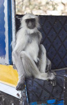 Indian Monkey by Kailash Kumar on Indian Monkey, Indian Animals, States Of India, Animal 2, Westerns, Husky, Dogs, Doggies