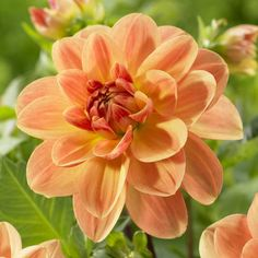 Large Dinnerplate Dahlia, Peach Brandy pairs great with yellow & red flowers in the garden.