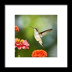Sweet Promise Hummingbird Square Framed Print By Christina Rollo