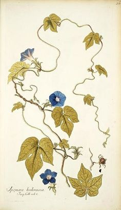 ivyleaf morning glory (Ipomea hederacea):  possibly drawn by Ferdinand Bauer.