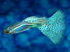 Types of guppies - there are several types of guppy fish that you can make as a pet. In addition to the beautiful color, guppy fish care is not too difficul Tropical Fish Store, Tropical Aquarium, Tropical Fish Pictures, Freshwater Aquarium Fish, Pet Fish, Fish Fish, African Cichlids, Beautiful Fish, Beautiful Pictures
