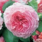 Buy roses for shaded areas - David Austin Roses
