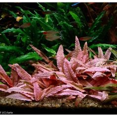In this listing you will receive 1 pink flamingo crypt plant from my personal planted tanks. This is one of my all time favorite stem plants. Beautiful colorful stem plant! Unique colors to add to your planted tank!! Very unique leafs!! Very hard to find plant in the hobby!! All plants that I list for sale are grown submersed under water. Not like the majority of the sellers online or at your local fish where they order immersed grown plants which are grown outside of water to make them easier t Aquarium Garden, Tropical Fish Aquarium, Live Aquarium Plants, Planted Aquarium, Real Plants, Live Plants, Freshwater Aquarium Plants, Different Plants, Aquatic Plants