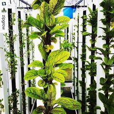 Loving all the #green in these towers! What are you growing this weekend? Repost @zipgrow with @repostapp.  What are you growing in your #ZipGrow Towers? Heres a great shot of some sorrel from one our most innovative #UpstartFarmers in Australia @baregree