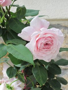 my marvellous pink english roses