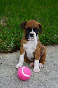 Boxer puppy!