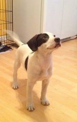 Carlos is an adoptable Pointer Dog in Cincinnati, OH. Carlos (White with Black Markings, 17lbs, 11 weeks, hound mix)  Carlos is a fun loving and playfullittle guy, he enjoys playing outside and lov...